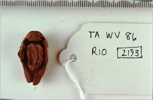 Balanos kernel from the excavations at the Workmen's Village at Amarna