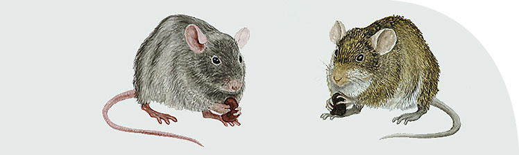 Black rat (left) and Nile rat (right): their interaction perhaps a significant factor in the history of disease in Egypt.